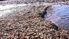 Mexilhão-dourado (Limnoperna fortunei) - Encontrado pela primeira vez no continente em 1991, no Rio da Prata. O mexilhão destrói plantas aquáticas ao envolver suas raízes e mata moluscos nativos por sufocamento. Homegeiniza o habitat e altera a dieta de peixes, causando desequilíbrios. Causa grandes danos econômicos ao se proliferar em tubulações de captação de água, reduzindo a capacidade de usinas hidrelétricas.