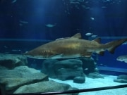 Cara a cara com os tubarões no AquaRio