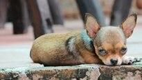 Chihuahua raivoso é 'preso' por agressão à polícia
