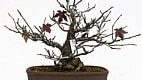 bonsai Zeca Wittner/Estadão