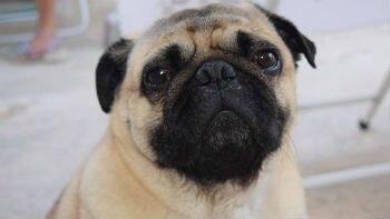 As expressões dos cães foram filmadas em várias situações e mapeadas por um programa de inteligência que reconhece os músculos faciais Foto: sidney23/Pixabay