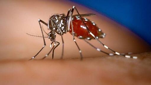 O mosquito 'Aedes aegypti' transmite dengue, zika e chikungunya - Divulgação