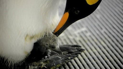 Aquário na Austrália celebra chegada de filhote de pinguim; veja fotos - EFE