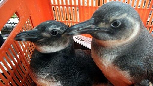 Pinguins são resgatos na favela da Rocinha - ONG