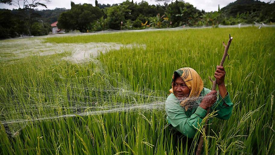 Darren Whiteside/Reuters - Agricultora cobre campo de arroz com rede de pesca,  para protegê-lo das aves,  na Indonésia. Foto:Darren Whiteside/Reuters
