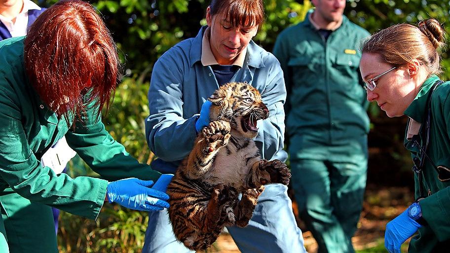 Peter Byrne/AP - Funcionários vacinam um dos 3 tigres de 12 semanas do zoológico de Chester,  na Inglaterra. Foto:Peter Byrne/AP
