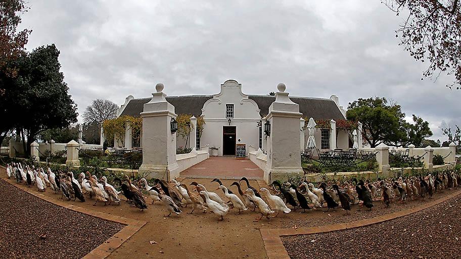 - Bando de patos marchando para destruir pragas em uma vinícola, na África do Sul. Foto: Mike Hutchings / Reuters