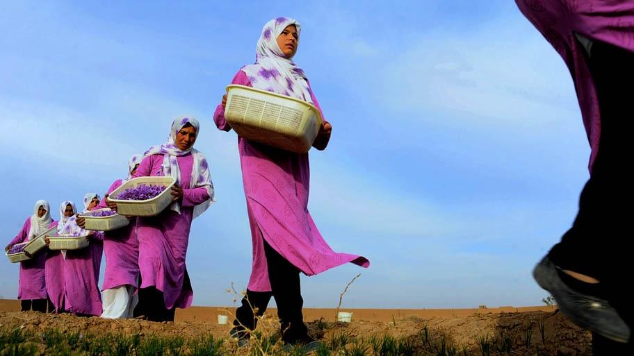 Aref Karimi/AFP - Trabalhadoras carregam a especiaria em fazenda no Distrito Ghoriyan de Herat, no Afeganistão. Foto: Aref Karimi/AFP
