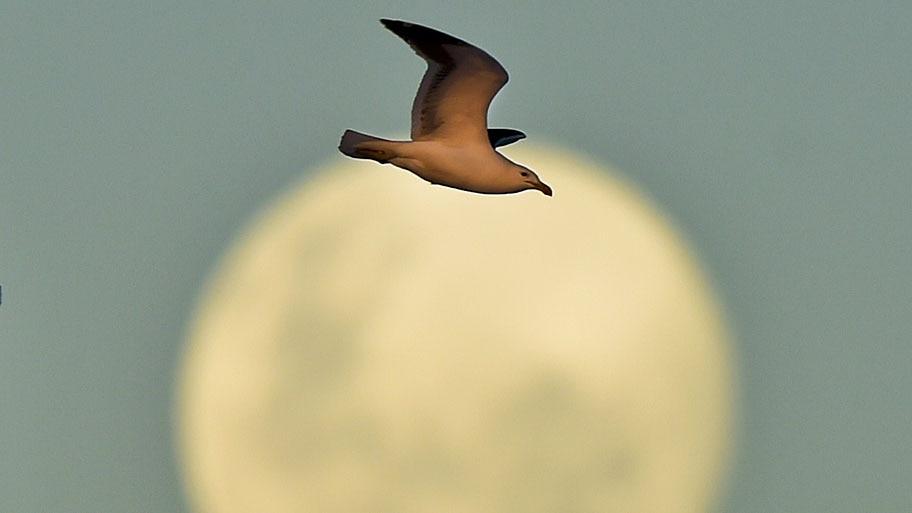 Luis Acosta/AFP - Uma gaivota voa em frente a lua que ainda está na fase quarto crescente, em Concepcion, no Chile. Foto: Luis Acosta/AFP