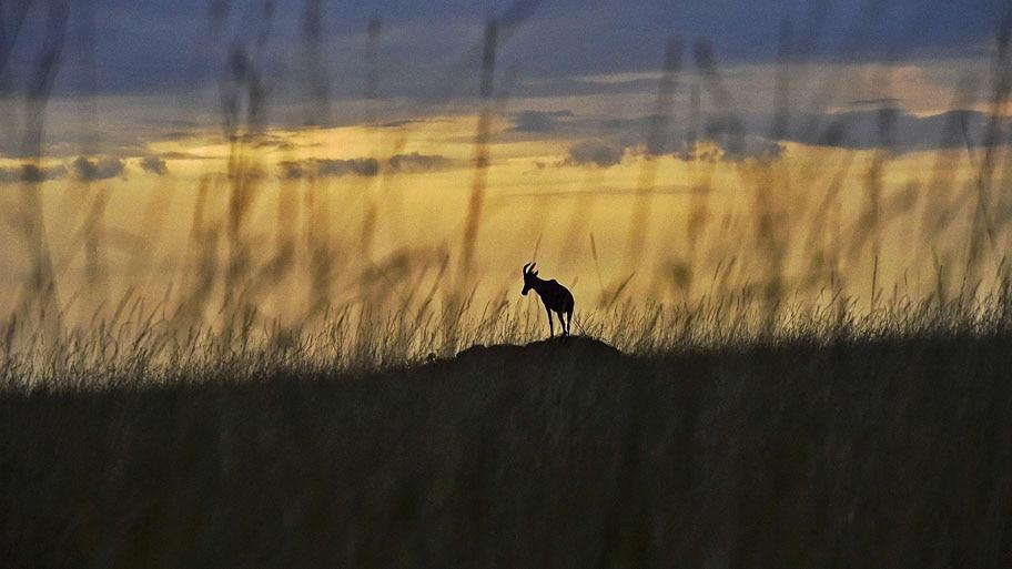 - Uma espécie de antílope africano é visto em Maasai Mara, um parque no Quênia. Foto: Carl de Souza / AFP