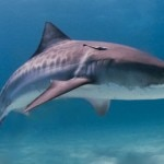 Tiger_shark-Wikimedia-Commons-630