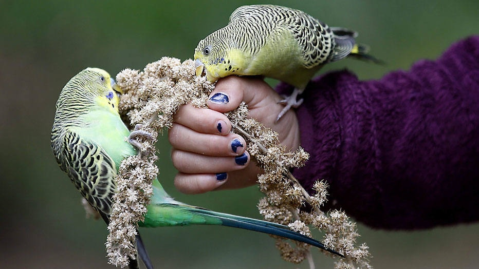 SAB03. Kassel (Germany), 31/08/2014.- A German girl feeds a pair of budgerigar birds inside a zoo in Kassel, Germany, 31 August 2014. Zoo supporters sa