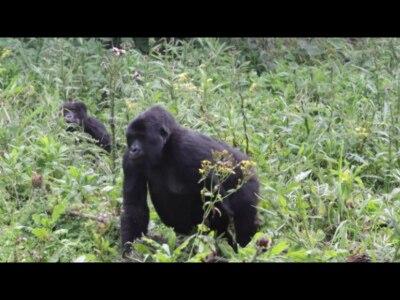 Gorilas da montanha