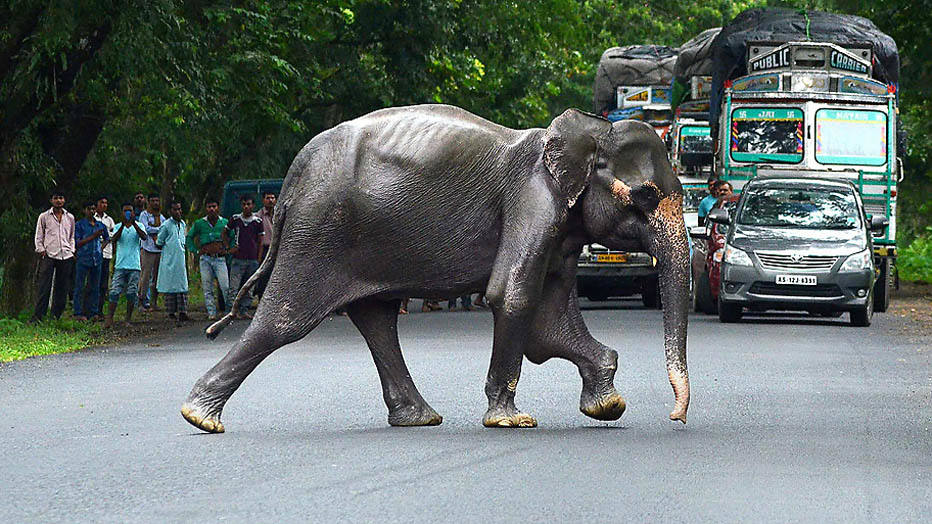 A wild elephant crosses a highway in search of dry land after floods hit Kaziranga National Park in Assam on August 25, 2014.  Floods and landslides in Nepal and India have killed nearly 200 people and scores more are missing. Hundreds die every year in floods and landslides during the monsoon season in South Asia.   AFP PHOTO/ ANUWAR HAZARIKA
