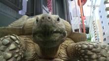Tartaruga gigante atrai olhares em Tóquio