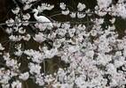 Japão se colore de rosa na época da Sakura