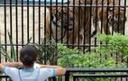 Menina observa tigre no Zoológico do Rio