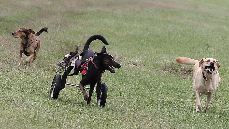 Three-years-old dog Hope (C) runs using a wheelchair amongst other dogs in Vienna September 3, 2014. Hope was found with cut-off back legs in the countryside and brought to an animal asylum when it was four-month-old. The dog was taken home two months later by Regine Grosinger who had a wheelchair manufactured for it. Picture taken September 3, 2014. REUTERS/Heinz-Peter Bader  (AUSTRIA - Tags: ANIMALS SOCIETY)