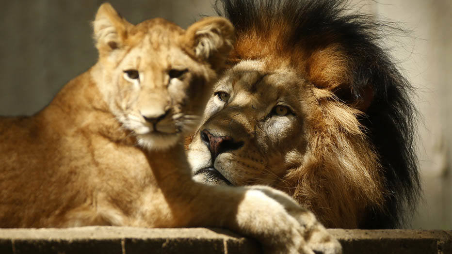 Lions rest as the hot sun beats down upon them at the National Zoo in Washington September 4, 2014. After a mild summer, the nation's capital is experiencing late season heat wave with temperatures up to around 90 degrees Fahrenheit.