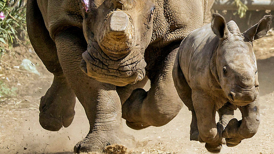 Three-week-old female White Rhinoceros runs with her mother Tanda, 21, at the Ramat Gan Safari, an open-air zoo near Tel Aviv, on September 3, 2014. The Safari Park reported that they have had two male White Rhinos born at the facility but she is the first female born there in 20 years. The new female rhino will eventually be transferred to other zoos to take part in the White Rhino reproduction project aimed at increasing the population of this species in a zoo. AFP PHOTO / JACK GUEZ