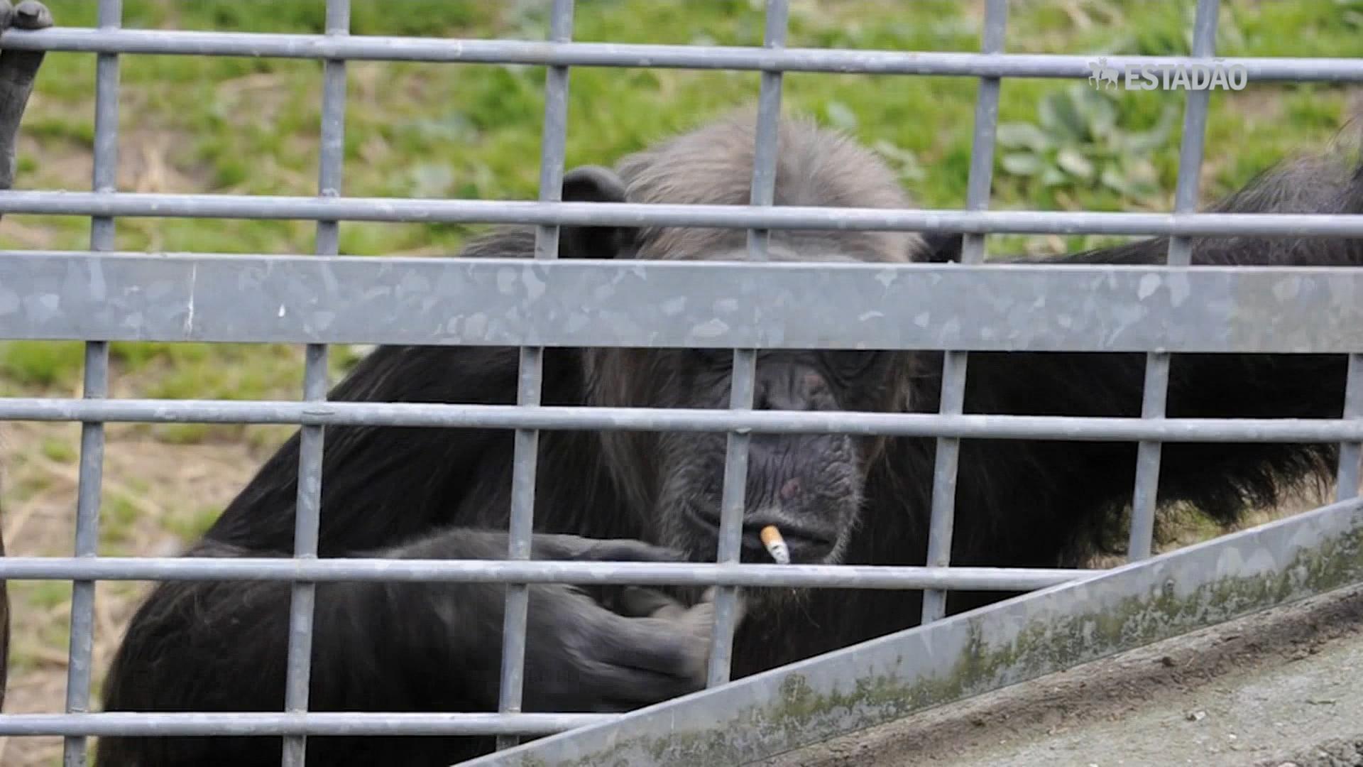 Chimpanzé fuma cigarro jogado por visitante de zoológico na Alemanha