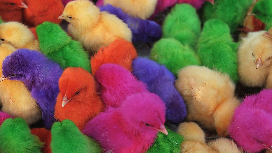 Coloured chicks are seen for sale at a roadside stall in the Indian town of Amritsar on September 10, 2014. Stall-owner Ashok earns approximately 200 INR (3.28 USD) per day selling chicks. India's fastest growth in over two years shows the economy is recovering, Finance Minister Arun Jaitley said August 30, 2014, adding the robust expansion would help the government meet its ambitious fiscal deficit target. AFP PHOTO/NARINDER NANU