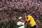 As tradicionais árvores do Japão abriram florada no Parque do Carmo, zona leste de São Paulo. Foto: Hélvio Romero/Estadão