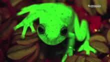 Pesquisadores descobrem fluorescência em rã