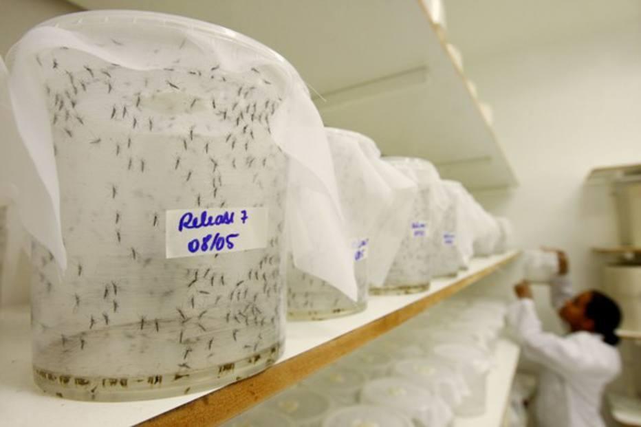 Resultado de imagem para mosquito transgenicos piracicaba