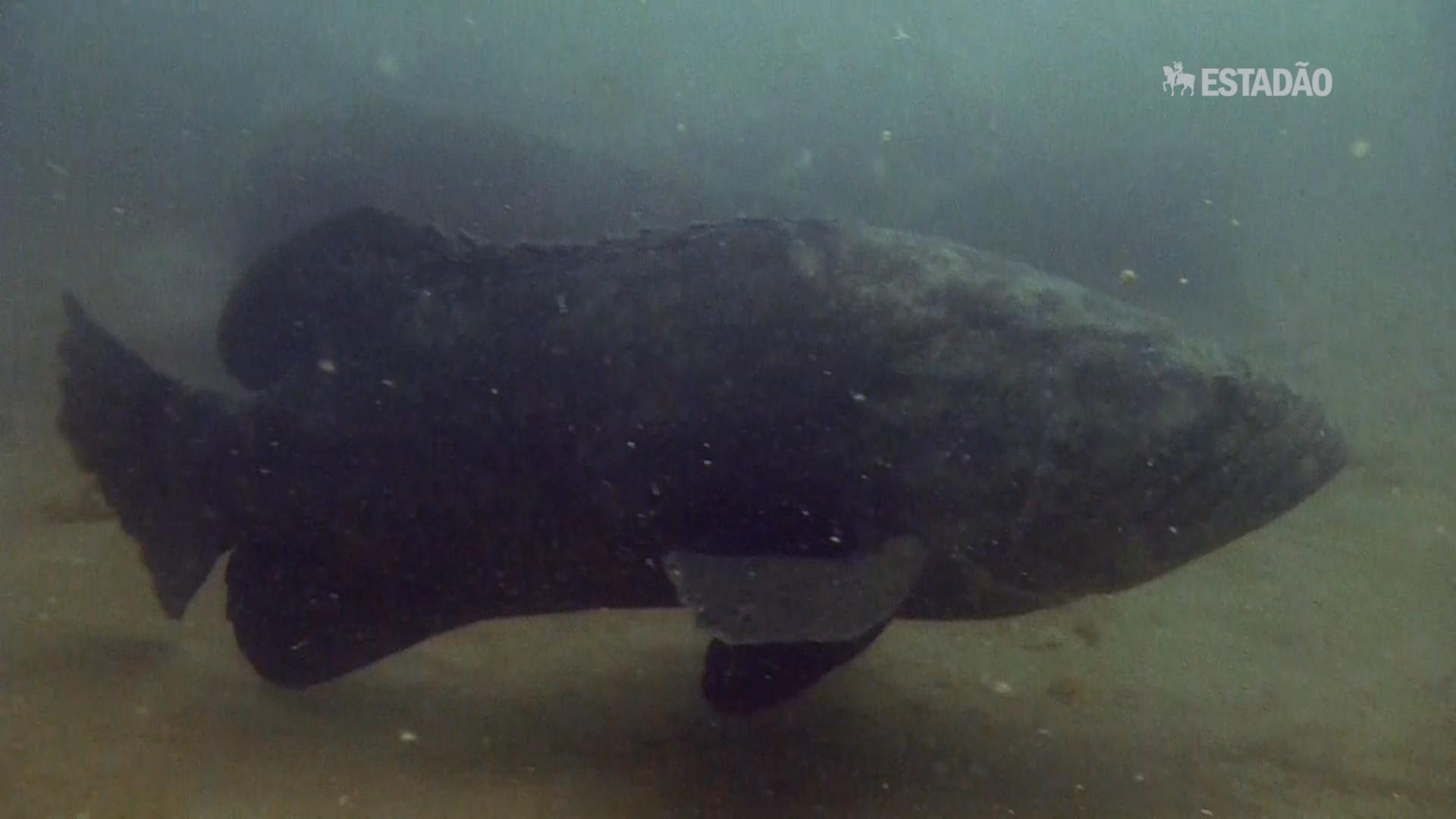 Mero, o gigante ameaçado da costa brasileira