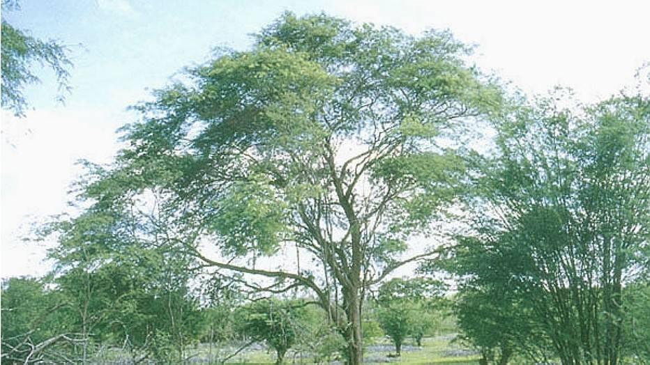 Algaroba (Prosopis juliflora) - Introduzida na década de 40 para alimentação de caprinos. Transformou-se em praga no Nordeste, onde causa grandes danos sociais por consumir grandes quantidades de água, provocando problemas hídricos para as comunidades. Impede o desenvolvimento da vegetação nativa por dominância e competição por espaço