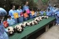 No total, 13 filhotes de panda estiveram em contato com o público