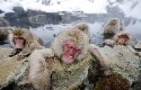 Em meio a neve, macacos aproveitam as águas termais no vale do Rio Yokoyu, no Japão