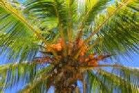 O açúcar é produzido a partir das flores da palma de coco