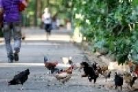 Galos e galinhas no Parque da Água Branca, na Barra Funda, zona oeste da capital paulista. A história do local teve início em 1904 com a criação da Escola Prática de Pomologia e Horticultura.