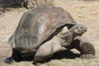 As tartarugas são conhecidas por sua longevidade. Há relatos de que uma tartaruga-das-galápagos viveu até os 170 anos. Há ainda uma tartaruga-de-seychelles, outra espécie de jabuti, que tem 184 anos! De acordo com registros da BBC, o animal nasceu em 1832!
