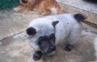 O cachorro, que está com 4 meses, ficou famoso após a proprietária Rosymeire Baptista postar algumas fotos do animal nas redes sociais