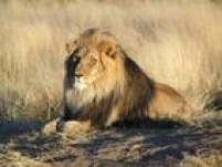 O rei da floresta tem vida até curta perto dos mamíferos de grande porte que compõem o seu reinado. O leão vive em média de 10 a 14 anos