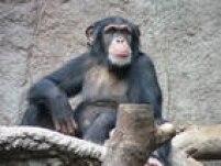 Há inúmeras espécies de macaco e consequentemente diferentes expectativas de vida para o bicho. Chimpanzés e gorilas podem viver até 40 anos