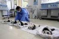 Em 2015 nasceram 10 filhotes no centro de reprodução para pandas gigantes em Ya'an
