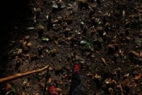 Avelãs enfeitam o chão no trecho entre Santiago de Compostela e Finisterra