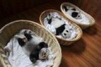 Filhotes de pandas gigantes são vistos dentro de cestas em sua<a href='http://internacional.estadao.com.br/blogs/radar-global/filhotes-de-panda-encantam-chineses/' target='_blank'>primeira aparição para o público em Ya'an, na província de Sichuan, China</a>.Visitantes puderam observar os filhotes, cujas idades variam entre uma semana e dois meses. Neste ano nasceram no centro de reprodução local 10 filhotes