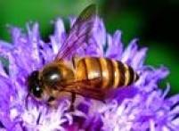 Há espécies de abelha que duram um mês, enquanto a mais famosa delas, a abelha-europeia, tem ciclo de vida de até 10 meses