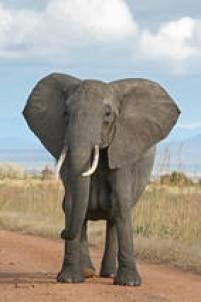 O elefante-asiático, menor do que o africano, vive em média 48 anos, quando na natureza, é bom lembrar. Os irmãos da África, elefante-da-savana e elefante-da-floresta, têm expectativa entre 60 e 70 anos de vida. A curiosidade é que a gestação do bicho é de 22 meses