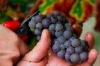 """Uva: """"Rica em resveratrol, antioxidante mais estudado e que ajuda a combater os processos de aterogenese por inibir o LDL oxidado"""""""