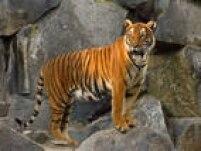De acordo com especialistas, um tigre vive em média de 20 a 26 anos. Oriundo da Ásia, esse animal tem expectativa de vida superior àdo leão, a quem o felino é bastante associado
