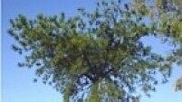 Pinus (Pinus elliottii e Pinus taeda, especialmente) - Trazida em 1948 pelo Serviço Florestal do Estado de São Paulo, destacaram-se pelo rápido crescimento e reprodução intensa - características que na época não foram vistas como riscos de invasão biológica. Substitui a vegetação nativa por dominância e sombreamento de ecossistemas abertos e em áreas florestais degradadas, em especial no Sul e no Cerrado.
