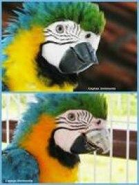 A arara Gigi, antes e depois da cirurgia de implantação do novo bico de titânio: ela é a única arara do mundo com uma prótese metálica.