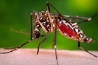 O mosquito 'Aedes aegypti' é transmissor do zika vírus, da dengue e da chikungunya; veja a seguir dicas para evitá-lo