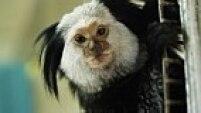 Sagui-do-tufo-preto (Callithrix penicillata) e Sagui-do-tufo-branco (Callithrix jacchus) - Nativas do Nordeste e do Centro-Oeste, as duas espécies se espalharam pelo Brasil por via criminosa: o tráfico de animal silvestres. Comem filhotes de passarinhos ainda no ninho, causando grandes desequilíbrios na fauna. Ocupa o nicho de outros primatas nativos, competindo por território e alimento.